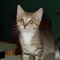 Adopt A Pet :: Nicky (kitten) - Watsontown, PA