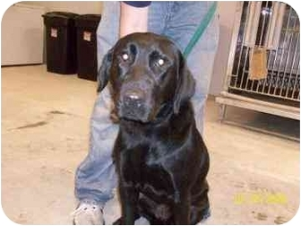 Labrador Retriever Mix Puppy for adoption in Franklin, Indiana - Roxy