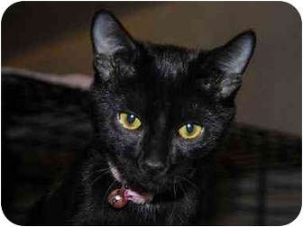 Bombay Cat for adoption in Monroe, Georgia - Portia