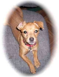 Jack Russell Terrier/Chihuahua Mix Puppy for adoption in Albuquerque, New Mexico - Shirley