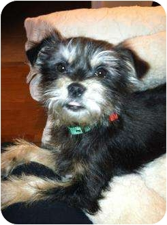 Yorkie, Yorkshire Terrier Mix Puppy for adoption in New Jersey, New Jersey - NJ - Mouse