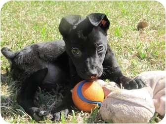 Collie/Labrador Retriever Mix Puppy for adoption in Arlington, Texas - Rudy