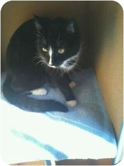 Domestic Shorthair Cat for adoption in Palm desert, California - Tux