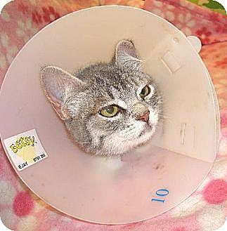 Domestic Shorthair Cat for adoption in Los Angeles, California - Sandra Dee