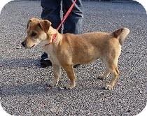 Dachshund/Corgi Mix Dog for adoption in Harrisonburg, Virginia - Jagger girl