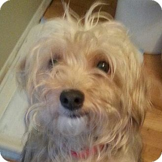Yorkie, Yorkshire Terrier/Silky Terrier Mix Dog for adoption in Romeoville, Illinois - Penny