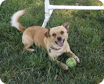 Terrier (Unknown Type, Small) Mix Dog for adoption in Sonoma, California - Cal