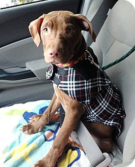 American Pit Bull Terrier/Labrador Retriever Mix Puppy for adoption in Reisterstown, Maryland - Bodi