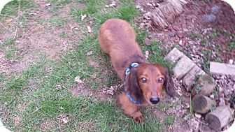 Dachshund Dog for adoption in Andalusia, Pennsylvania - Chocko