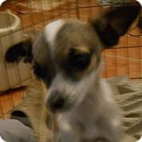 Adopt A Pet :: Pansy - dewey, AZ