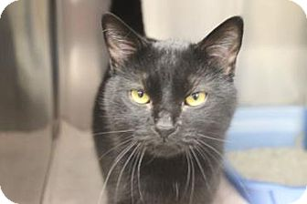 Domestic Shorthair Cat for adoption in Lafayette, Indiana - Baldwin