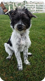 Terrier (Unknown Type, Medium) Mix Dog for adoption in Mesa, Arizona - CLAIRE 1 YR TERRIER FEMALE
