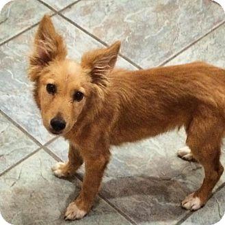 Border Collie/Golden Retriever Mix Puppy for adoption in Las Vegas, Nevada - Mikey
