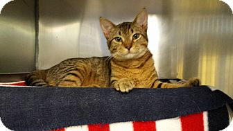 Domestic Shorthair Cat for adoption in Stillwater, Oklahoma - Ari