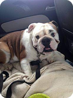 English Bulldog Dog for adoption in Park Ridge, Illinois - Scooby