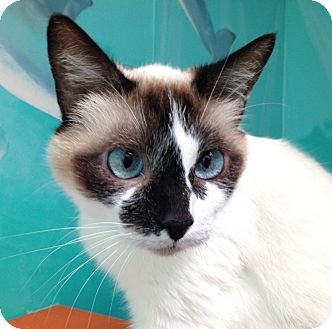 Snowshoe Cat for adoption in Newport Beach, California - Pascha