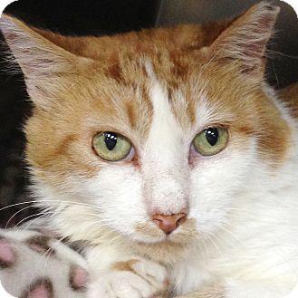 Domestic Shorthair Cat for adoption in Clayville, Rhode Island - Annie