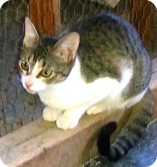 Domestic Mediumhair Cat for adoption in Ravenna, Texas - Ragdoll Annie
