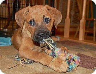 Boxer Mix Puppy for adoption in Milwaukee, Wisconsin - BAXTER