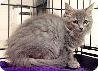 Maine Coon Kitten for adoption in River Edge, New Jersey - Cindra