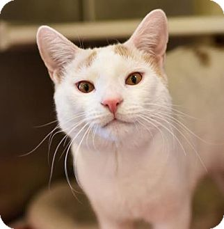 Domestic Shorthair Cat for adoption in Reisterstown, Maryland - Creamsicle