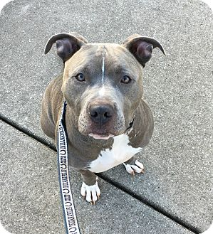 Pit Bull Terrier Mix Dog for adoption in Oak Park, Illinois - Zipper