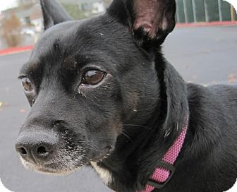 Terrier (Unknown Type, Small)/Chihuahua Mix Dog for adoption in Branson, Missouri - Roxy