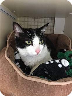 Domestic Shorthair Cat for adoption in Meridian, Idaho - Piper