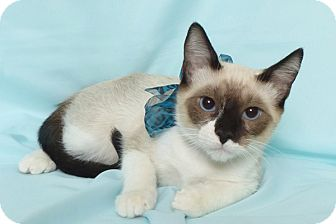 Snowshoe Kitten for adoption in Kerrville, Texas - Basil