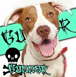 American Pit Bull Terrier Mix Dog for adoption in Des Moines, Iowa - Gunner