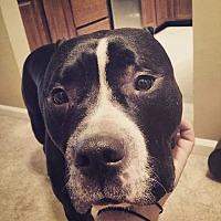American Pit Bull Terrier/Mastiff Mix Dog for adoption in Ashburn, Virginia - Tuuka Rask