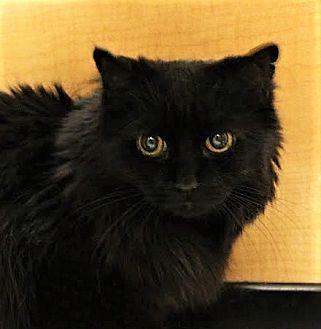 Domestic Mediumhair Cat for adoption in Richmond Hill, Ontario - Mitzy
