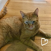 Adopt A Pet :: Lucky-Courtesy Post - Columbia, MD