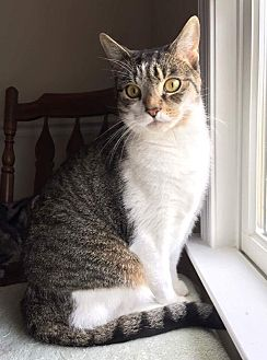 Domestic Shorthair Cat for adoption in Vineland, New Jersey - Tom