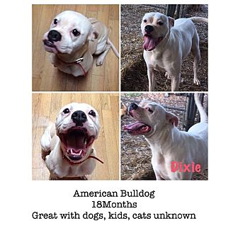 American Bulldog Mix Dog for adoption in Hagerstown, Maryland - Dixie