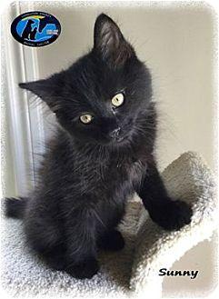 Domestic Mediumhair Kitten for adoption in Howell, Michigan - Sunny