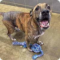 Adopt A Pet :: Sawyer - Jackson, MI
