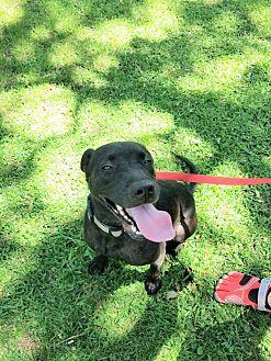 Labrador Retriever Mix Dog for adoption in Arlington, Texas - Luna