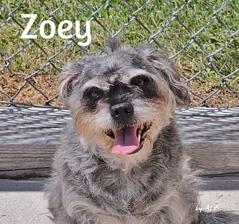 Schnauzer (Standard)/Terrier (Unknown Type, Medium) Mix Dog for adoption in Pleasantville, New Jersey - Zoey