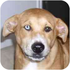 Jindo/Labrador Retriever Mix Puppy for adoption in Redondo Beach, California - Johnny
