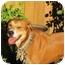 Photo 1 - Rhodesian Ridgeback/Boxer Mix Dog for adoption in Burbank, California - Evie