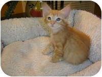 Domestic Mediumhair Kitten for adoption in Tampa, Florida - Mitsy
