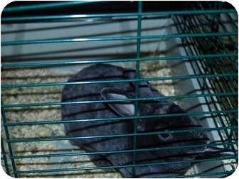 Guinea Pig for adoption in North Pole, Alaska - Guinea Pigs