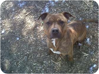 American Pit Bull Terrier Mix Dog for adoption in Bolton, Connecticut - Chester