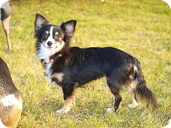Chihuahua Dog for adoption in Toronto/Etobicoke/GTA, Ontario - Alana