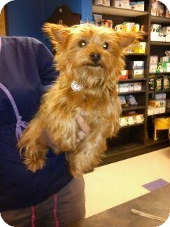 Yorkie, Yorkshire Terrier Dog for adoption in Wappingers, New York - desmond