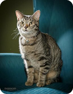 Domestic Shorthair Cat for adoption in St. Louis, Missouri - Hulk