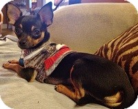 Chihuahua Mix Dog for adoption in AUSTIN, Texas - MILO