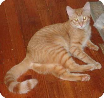 Domestic Shorthair Cat for adoption in Merrifield, Virginia - Gulf & Texaco