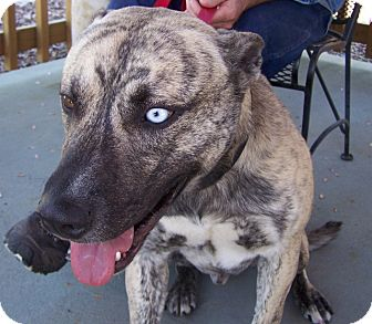 Catahoula Leopard Dog/Cattle Dog Mix Dog for adoption in Grants Pass, Oregon - Cosmo